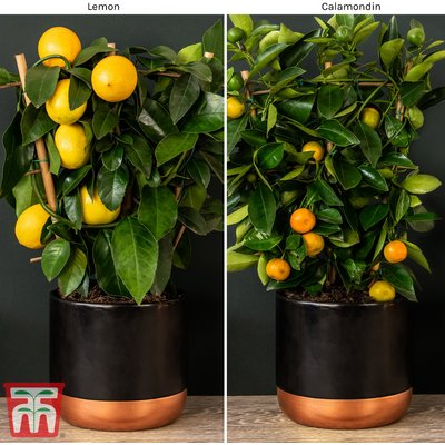 Calamondin Orange and Lemon Duo (House Plant)