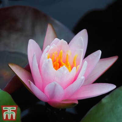 Water Lily Pink with a Pond Basket