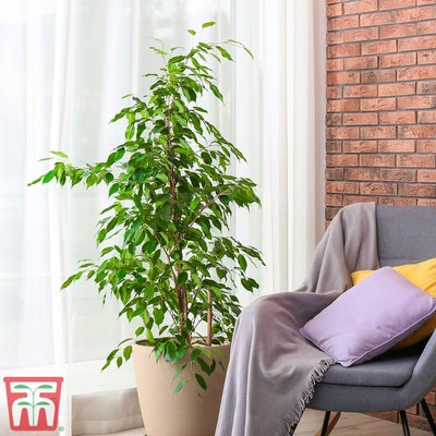 Weeping Fig (House Plant Seeds)