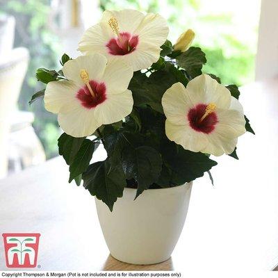 Hibiscus Adonicus
