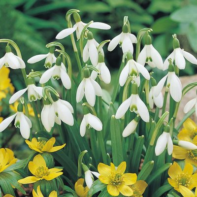 Snowdrops in the green