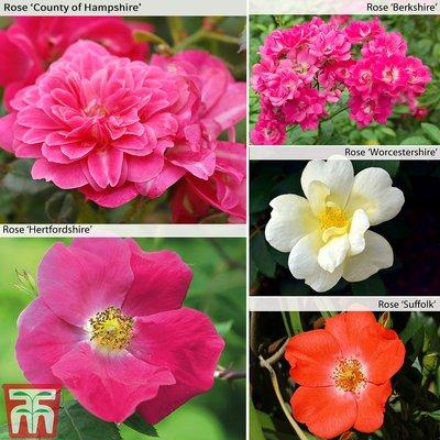 Nurserymans Choice Rose Ground Cover Mix
