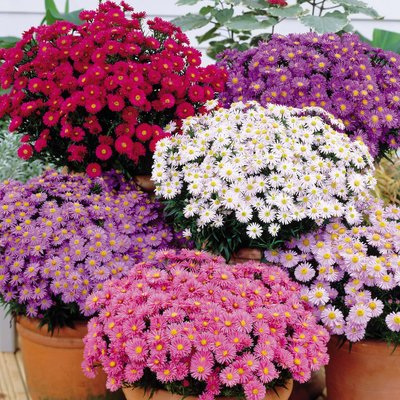 Aster dumosus Collection