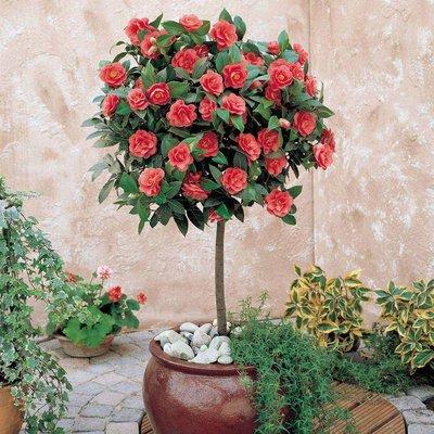Camellia (Standard)