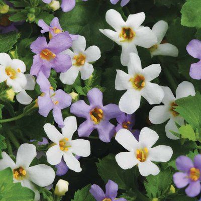 Bacopa Collection