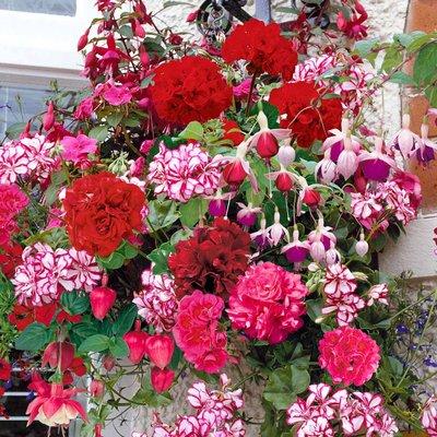 Geranium and Fuchsia Basket Mix