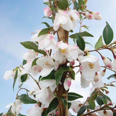 Camellia rosthorniana