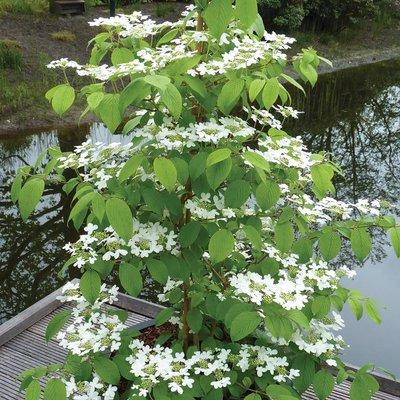 Viburnum plicatum f. tomentosum