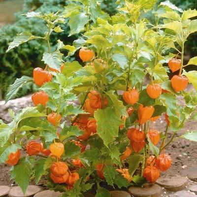 Chinese Lantern (Seeds)