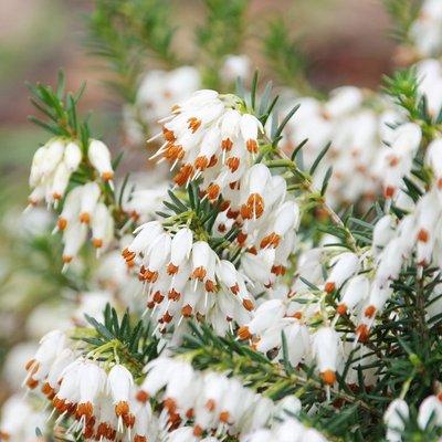 Erica carnea f. alba