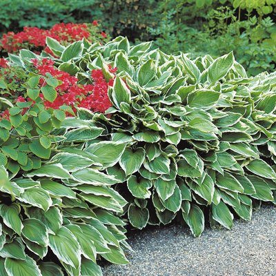 Hosta fortunei