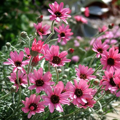Rhodanthemum