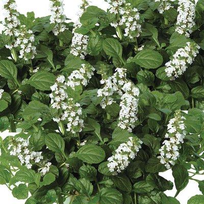 Ajuga reptans f. albiflora