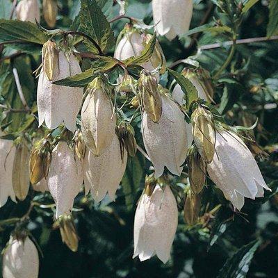 Campanula takesimana
