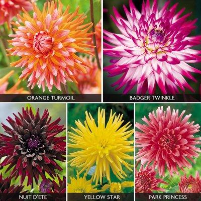 Dahlia Cactus Collection