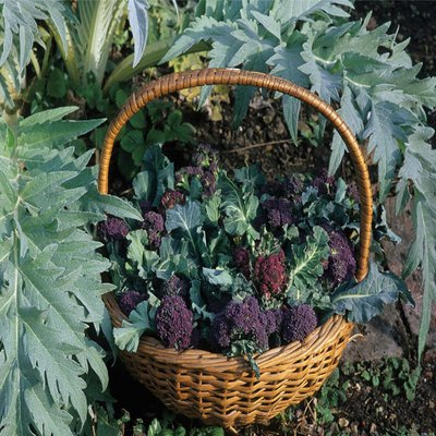 Broccoli Extra Early Purple Sprouting