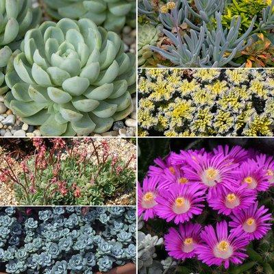 Sedum and Succulent Collection