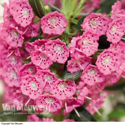 Kalmia angustifolia Rubra (Mountain Laurel)