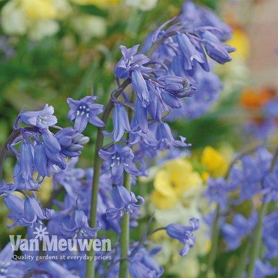 English Bluebells