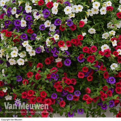 Calibrachoa Red, White & Blue Mix