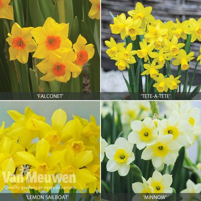 Miniature Daffodil Collection