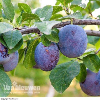 Plum Black Amber (Mini Fruit Tree)