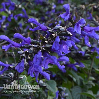 Salvia Bodacious Rhythm and Blues