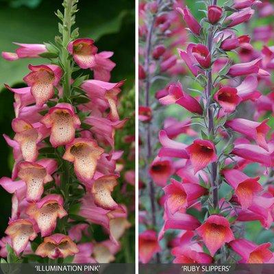 Perennial Foxglove Collection