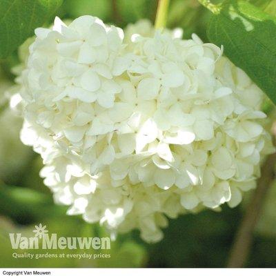 Viburnum opulus (Large Plant)