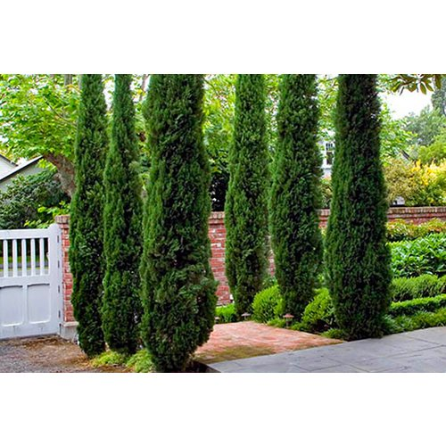Save 37% - £19.99 instead of £29.99 for two extra-large Italian Cypress trees from Blooming Direct - bring the Mediterranean to you and save 33%