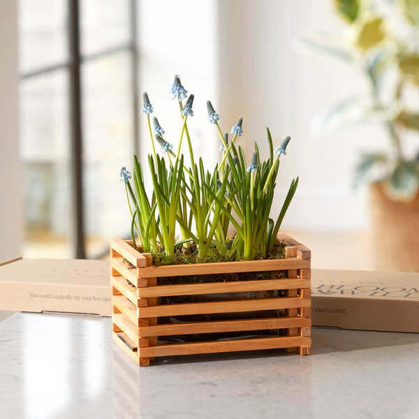 Flower Delivery - Letterbox Flowers - Letterbox Plants - The Mini Muscari