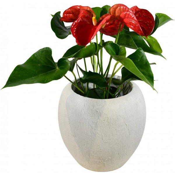 Anthurium (Red)