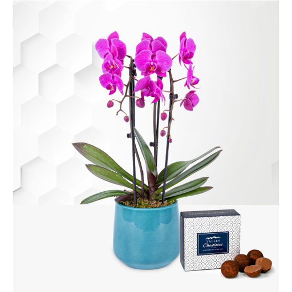 Cascade Orchid in Blue Pot - Free Chocs