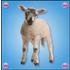 L' agnellino