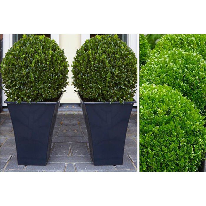 Save 70% - £24 instead of £78.99 for two topiary buxus from Plant Store - save 70%